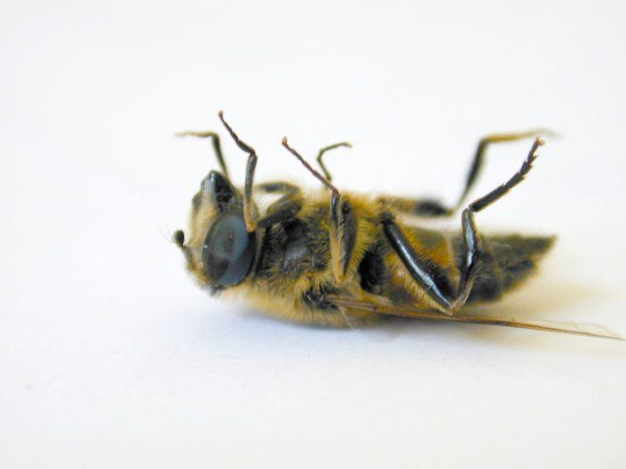 Forskere advarer: 2017 kan blive hårdt for biavlere