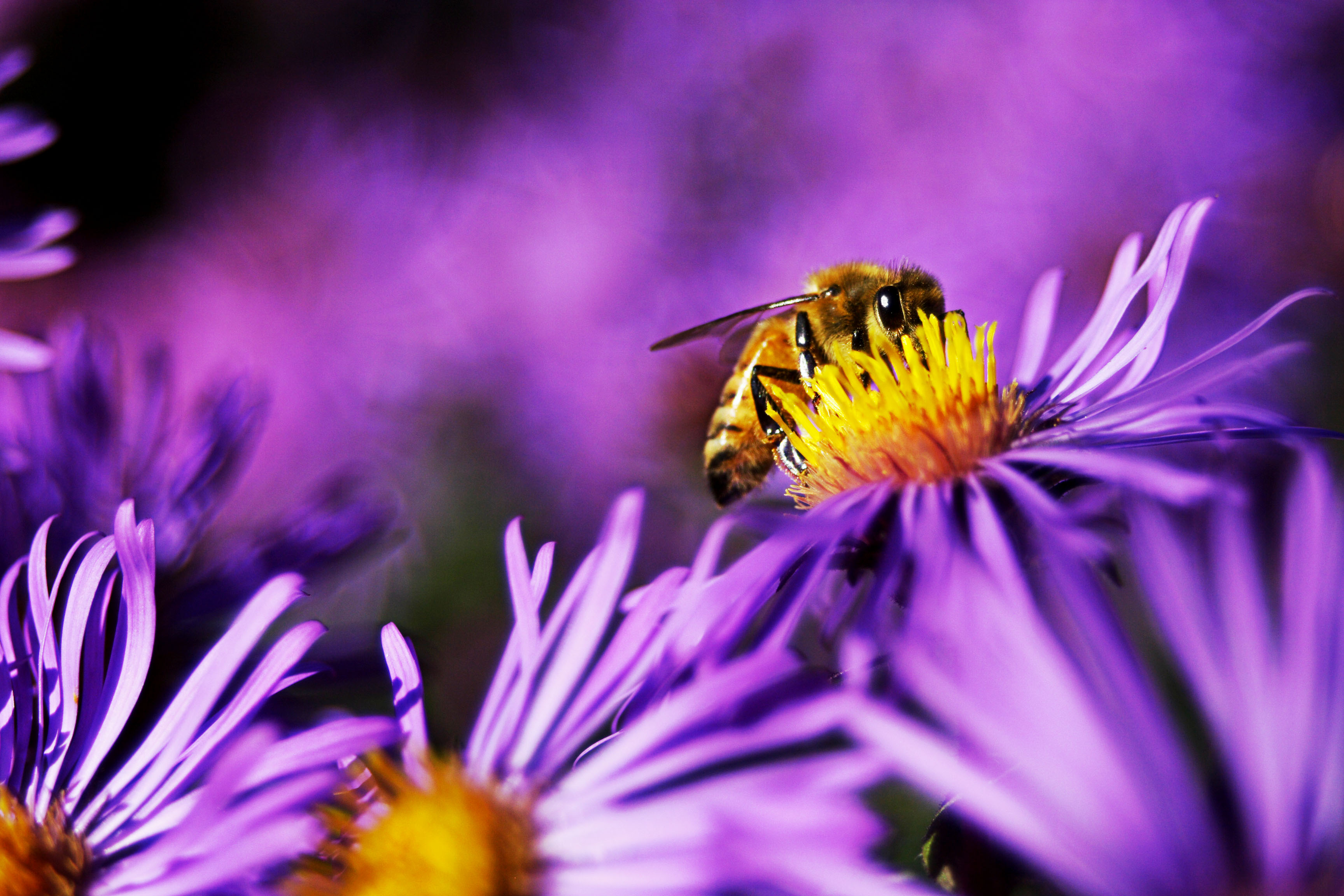 honey_garden_purple_735736_o