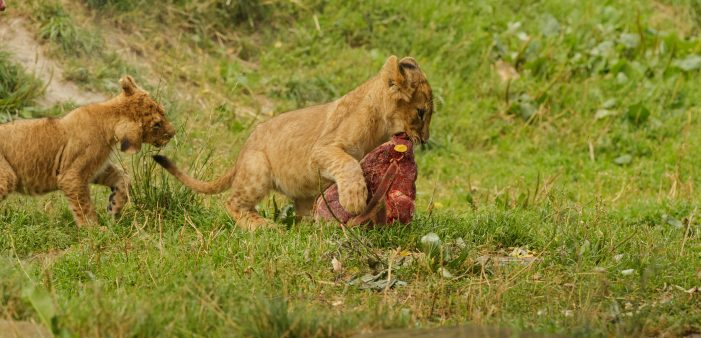 Københavns Zoo: Lange ventelister på at få sin hest spist af løver