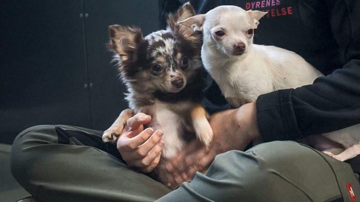 Der er gået køkkenbordsavl i den: 113 hunde anbragt på internater