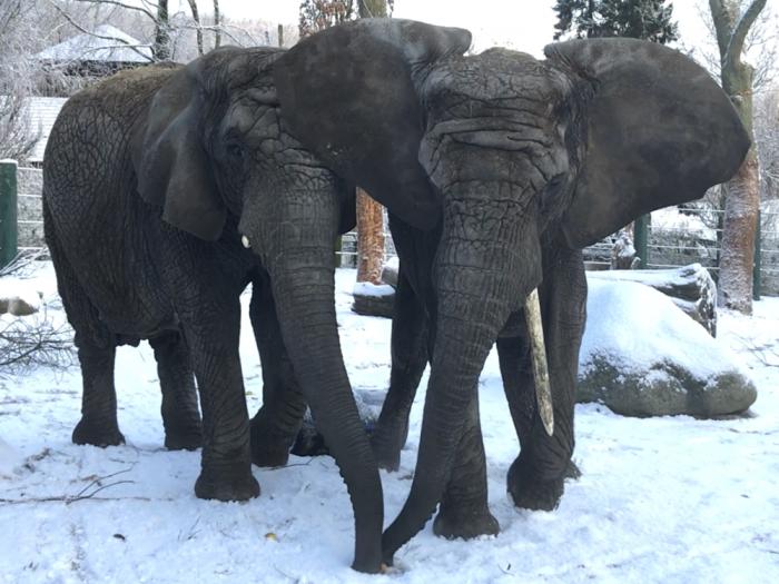Snevejret bider: Elefanter kan få frostskader på deres kæmpe ører