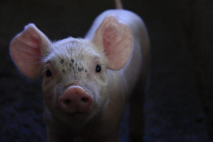 Dansk landmand om kinesisk griseovervågning: »Spændende og interessant«