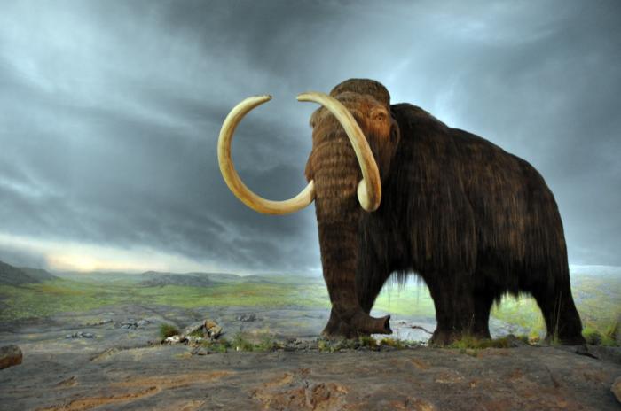 Forskere genopliver celler i 28.000 år gammel mammut