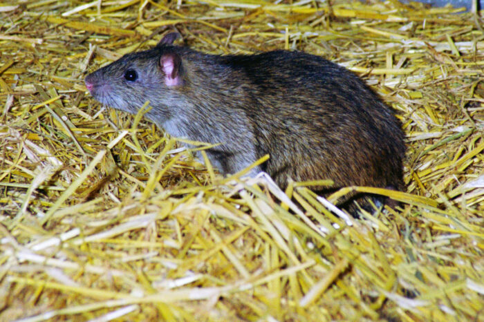 Årelang rottekrig fortsætter uden stor succes